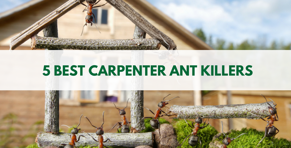 5 Best Carpenter Ant Killers Available Recommended Baits And Products