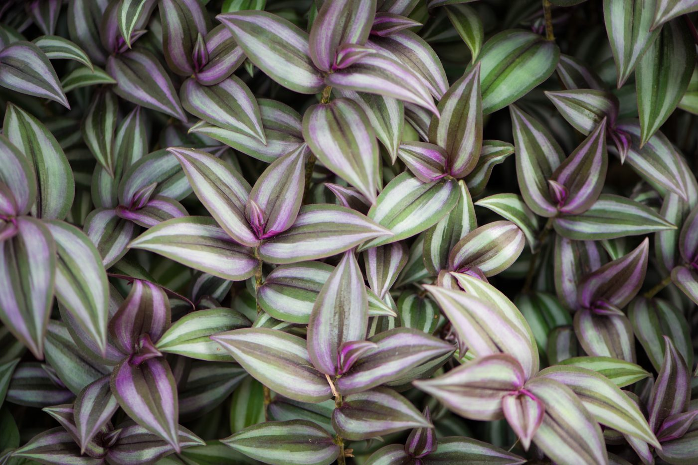 Wandering jew plant plant tips pictures and care guide - Wandering jew care ...