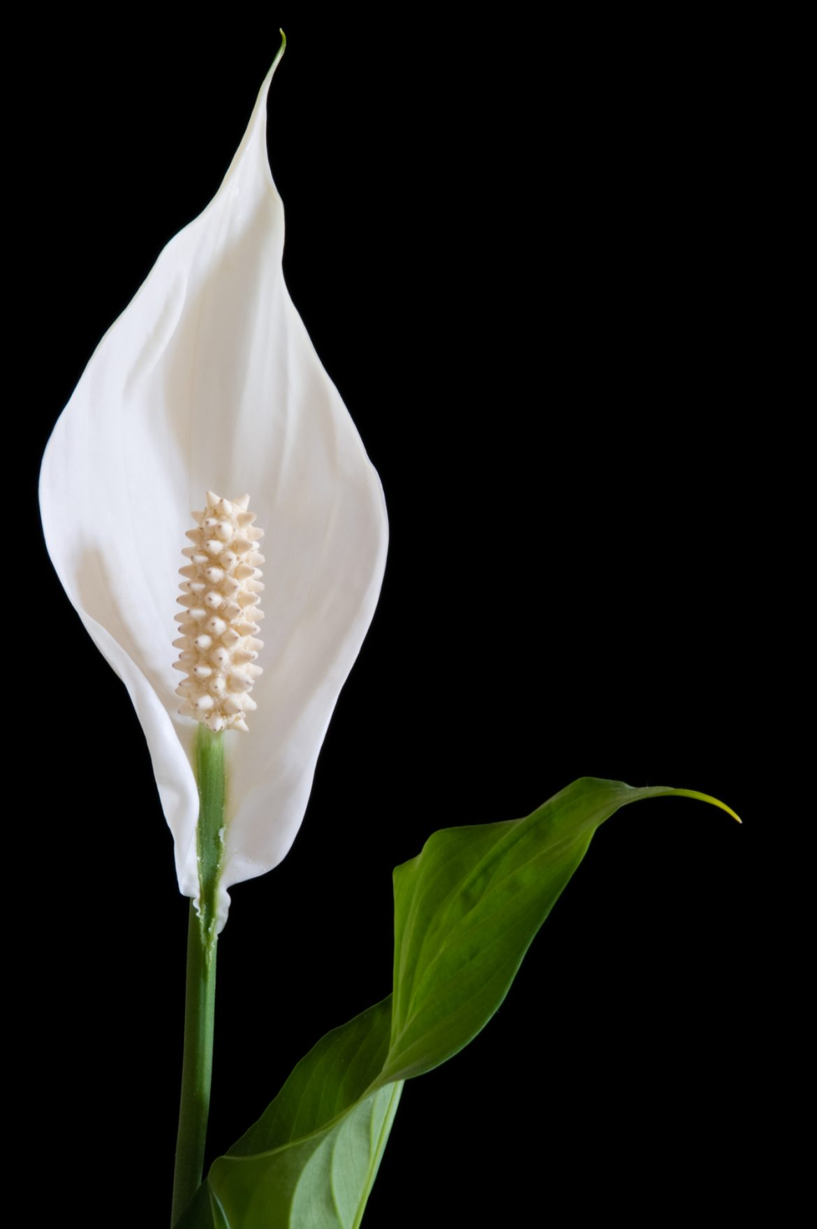 How to grow peace lily spathiphyllum plus care guide tips izmirmasajfo