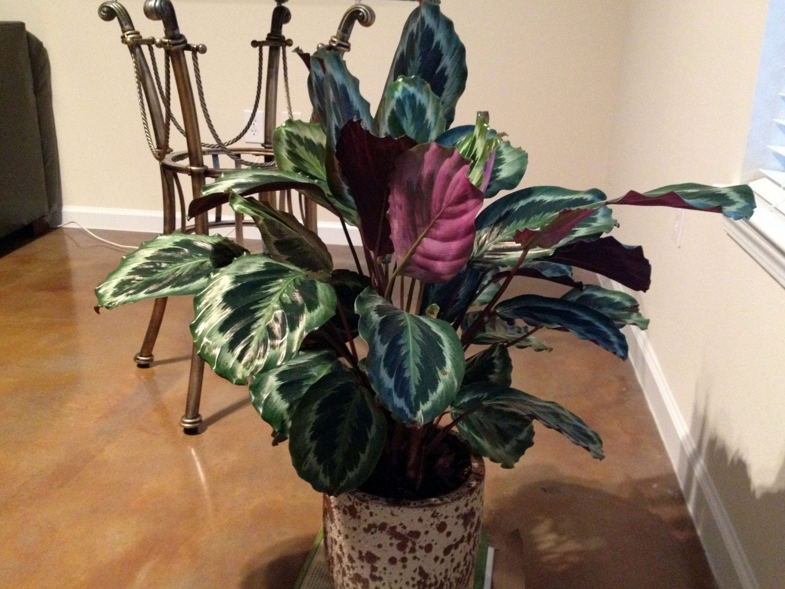 Taking Care Of And Growing The Maranta Prayer Plant