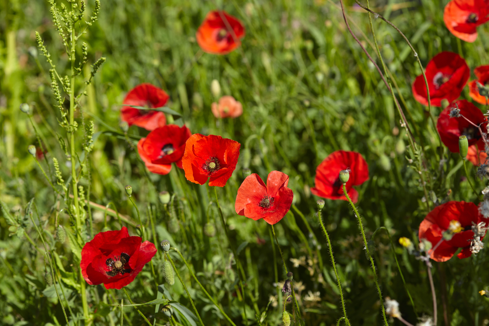 Planting and caring for poppies how to sow and grow mightylinksfo